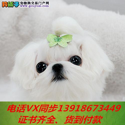 纯种出售马尔济斯犬当天发货可上门.视频签协议