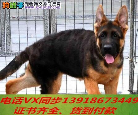 德国牧羊犬犬纯种出售包养活可上门签订协议