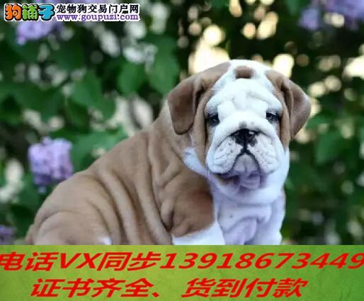 繁殖基地出售精品 英国斗牛犬 保健康 可上门 签订协议