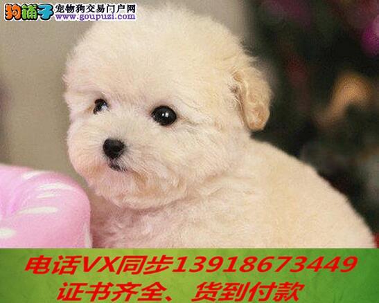 专业繁殖纯种泰迪幼犬可来基地挑选签协议保健康1