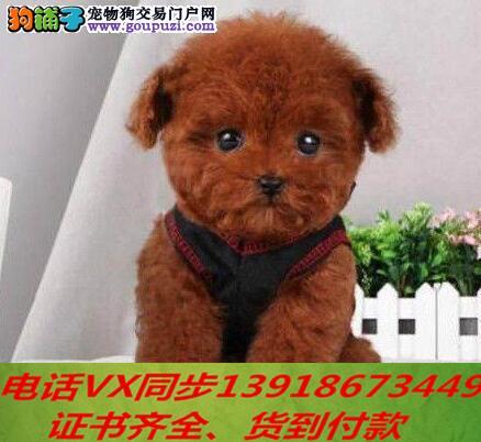 专业繁殖纯种泰迪幼犬可来基地挑选签协议保健康2