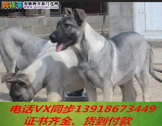 家养繁殖纯种昆明犬 宠物狗狗 疫苗齐包品质健康1