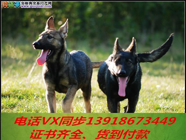 家养繁殖纯种昆明犬 宠物狗狗 疫苗齐包品质健康2