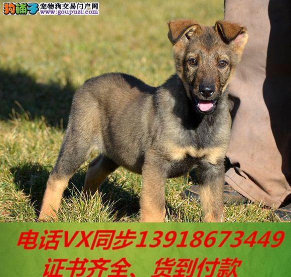 家养繁殖纯种昆明犬 宠物狗狗 疫苗齐包品质健康3