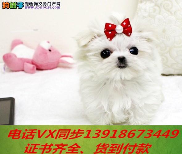 家养繁殖纯种马尔济斯犬 宠物狗狗 疫苗齐包品质健康