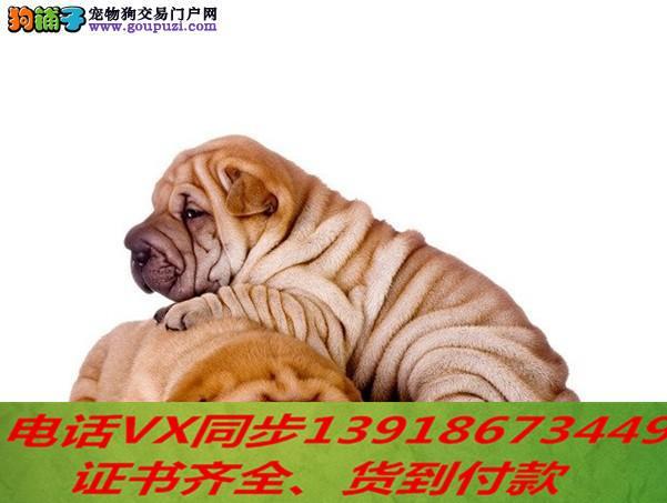 家养繁殖纯种沙皮 宠物狗狗 疫苗齐包品质健康
