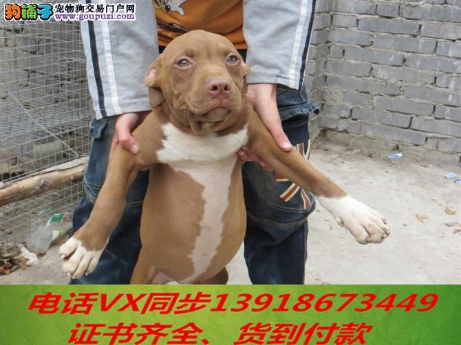 本地犬场 出售纯种比特犬 包养活签协议可送货上门!!