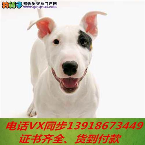 本地犬场 出售纯种牛头梗 包养活签协议可送货上门!!
