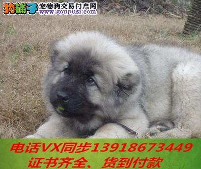 本地犬场 出售纯种高加索 包养活签协议可送货上门!!