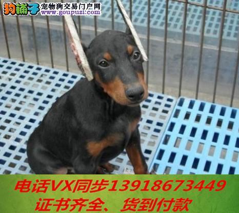 本地犬场 出售纯种杜宾犬 包养活签协议可送货上门!!