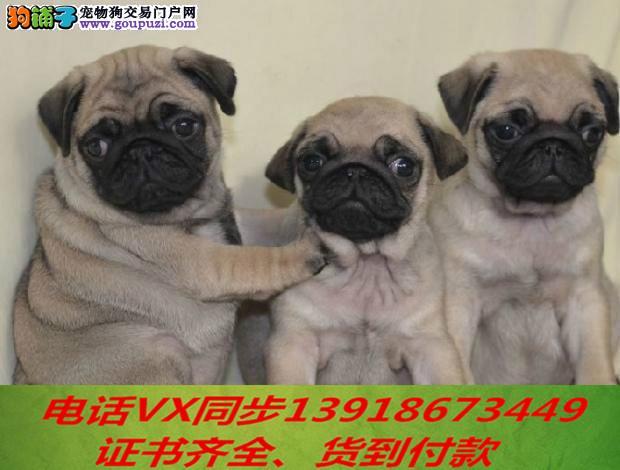 本地犬场 出售纯种巴哥犬 包养活签协议可送货上门!!