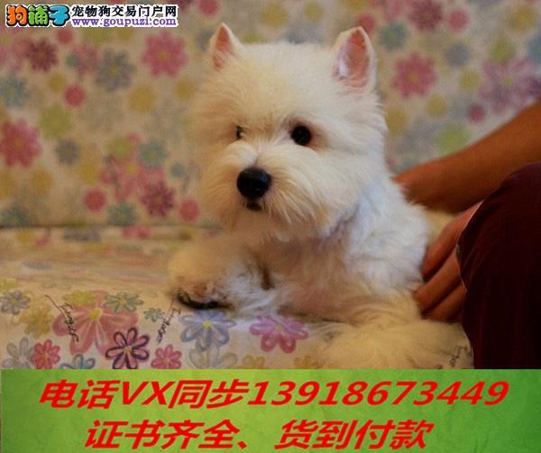 本地犬场 出售纯种西高地 包养活签协议可送货上门!!