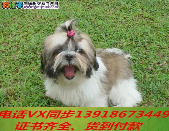 本地犬场出售纯种蝴蝶犬 包养活签协议可送货上门 !