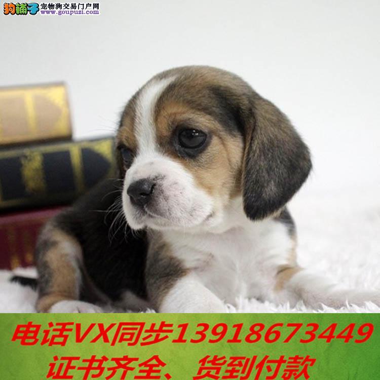 本地犬场出售纯种比格犬 包养活签协议可送货上门 !