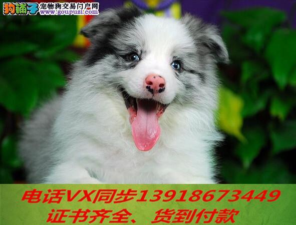 本地犬场 出售纯种边牧 包养活签协议可送货上门!!