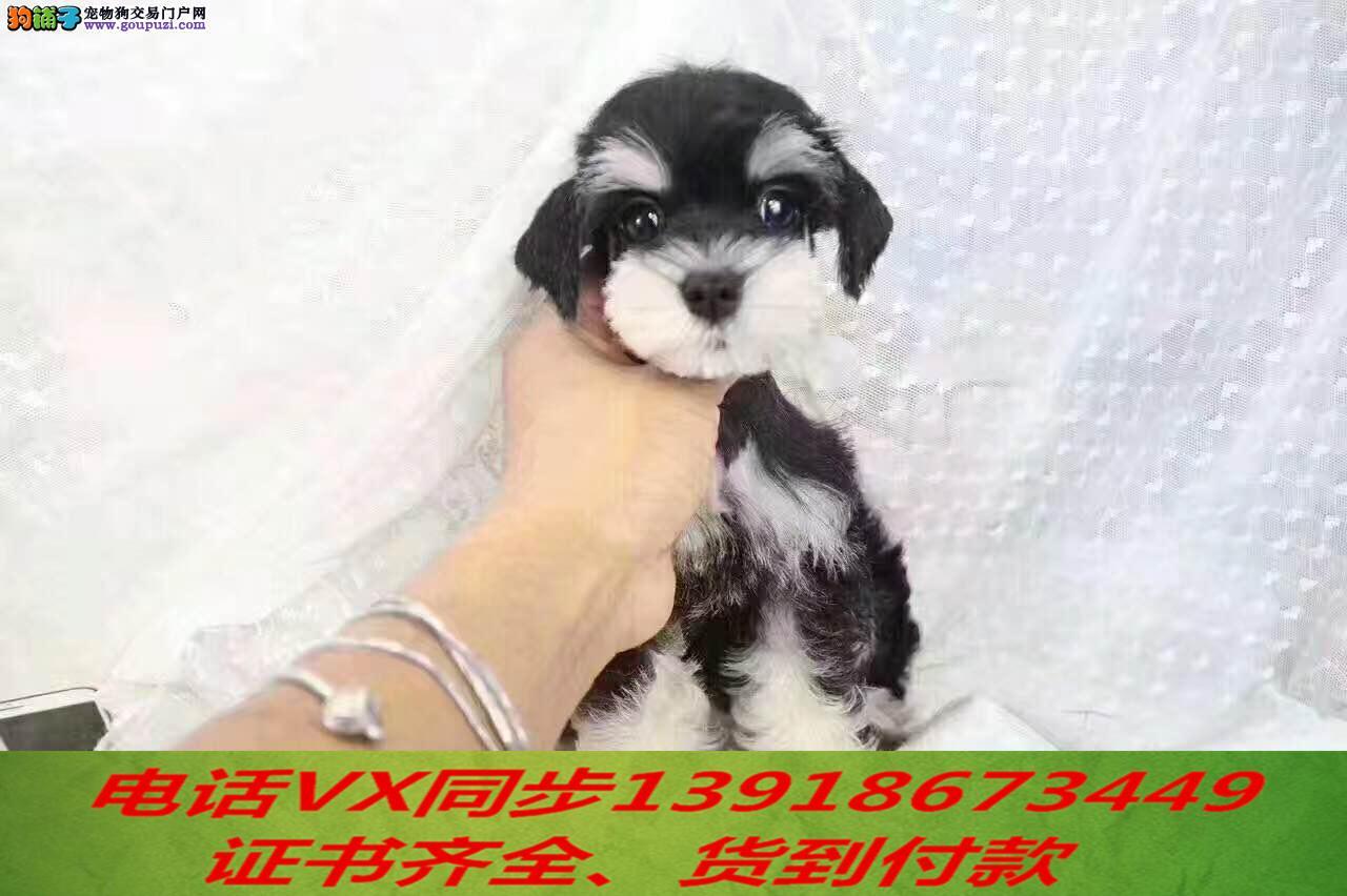本地犬场 出售纯种雪纳瑞 包养活签协议可送货上门!!