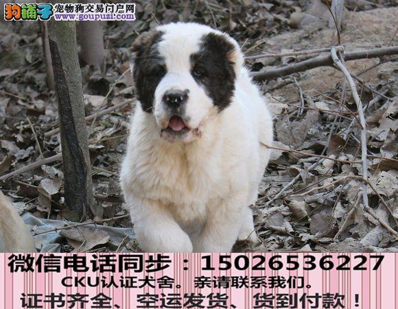 实拍现货视频一泰中亚牧羊犬犬保健康保纯种