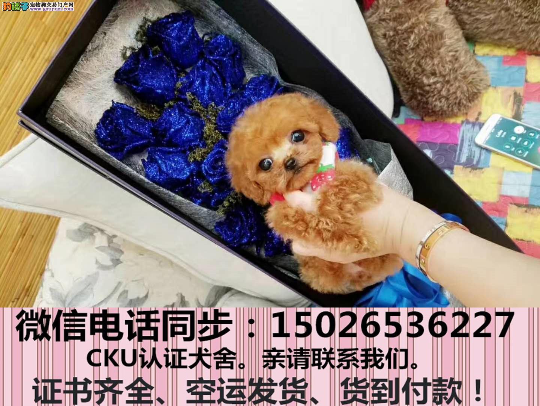 出售纯种泰迪犬幼犬全国发货签订协议3