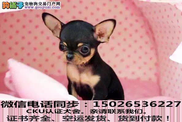实拍现货视频一茶杯幼犬保健康保纯种签售后协议