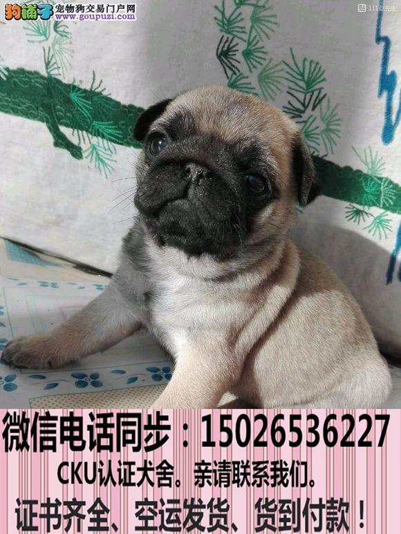 实拍现货视频一巴哥幼犬保健康保纯种签售后协议