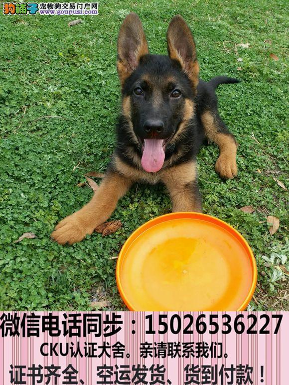 实拍现货视频一狼狗幼犬保健康保纯种签售后协议
