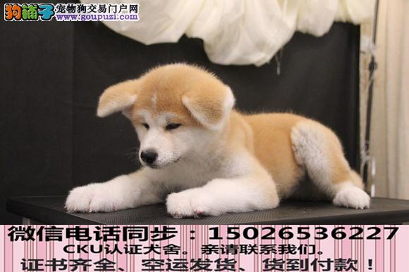 实拍现货视频一秋田幼犬保健康保纯种签售后协议