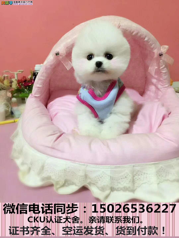 实拍现货视频一茶杯幼犬保健康保纯种