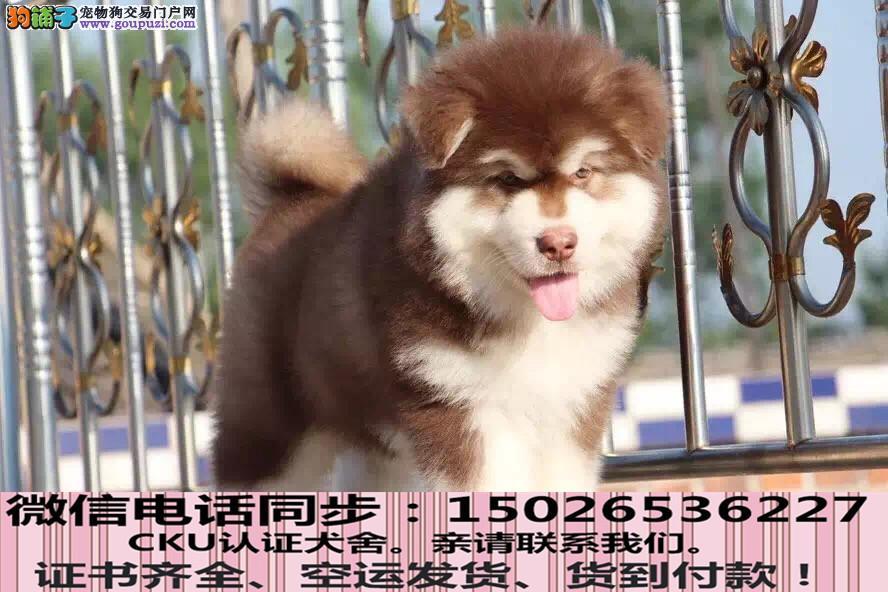 实拍现货视频一阿拉斯加幼犬保健康保纯种