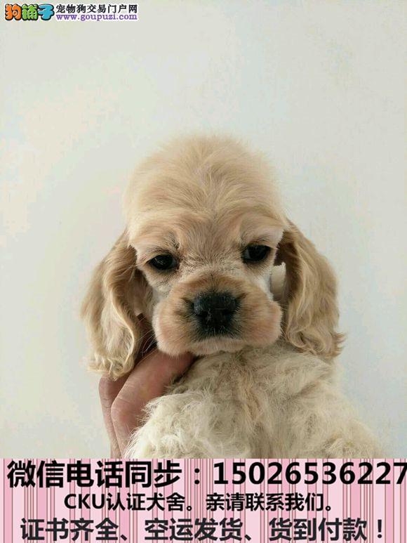 实拍现货视频一可卡幼犬保健康保纯种签协议