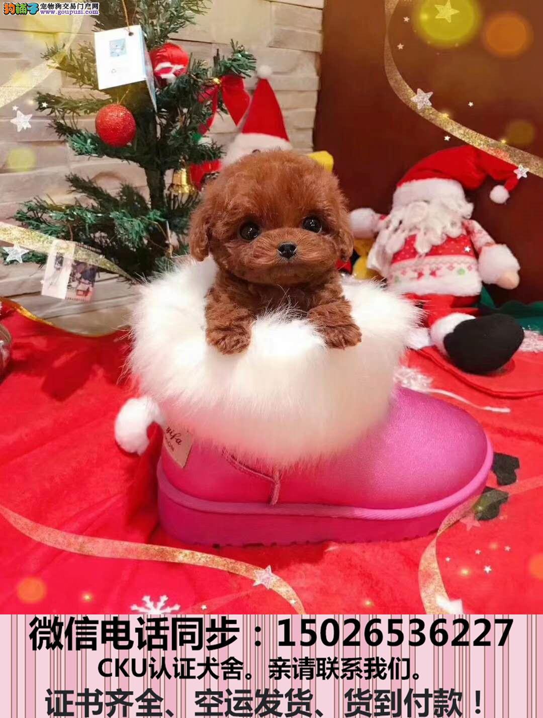 官方质保 纯种泰迪犬 包健康好养.购买签协议