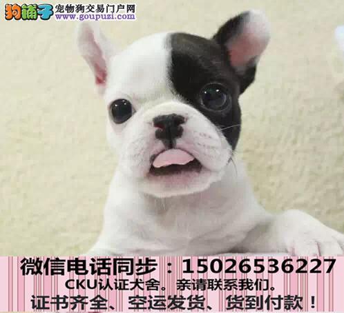 全国送货上门 法牛幼犬保健康保纯种签售后协议