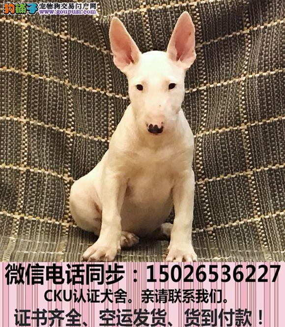 全国送货上门 牛头梗幼犬保健康保纯种签售后协议