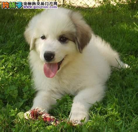 全国送货上门 大白熊幼犬保健康保纯种签售后协议