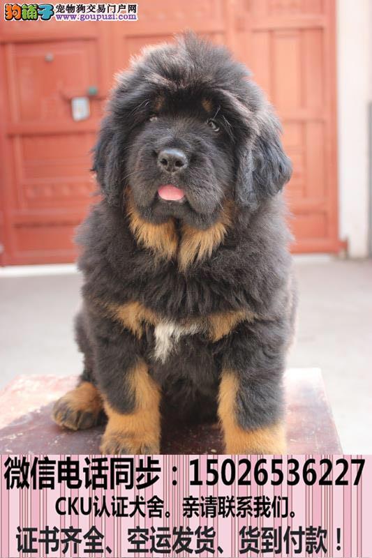 全国送货上门 藏獒幼犬保健康保纯种签售后协议