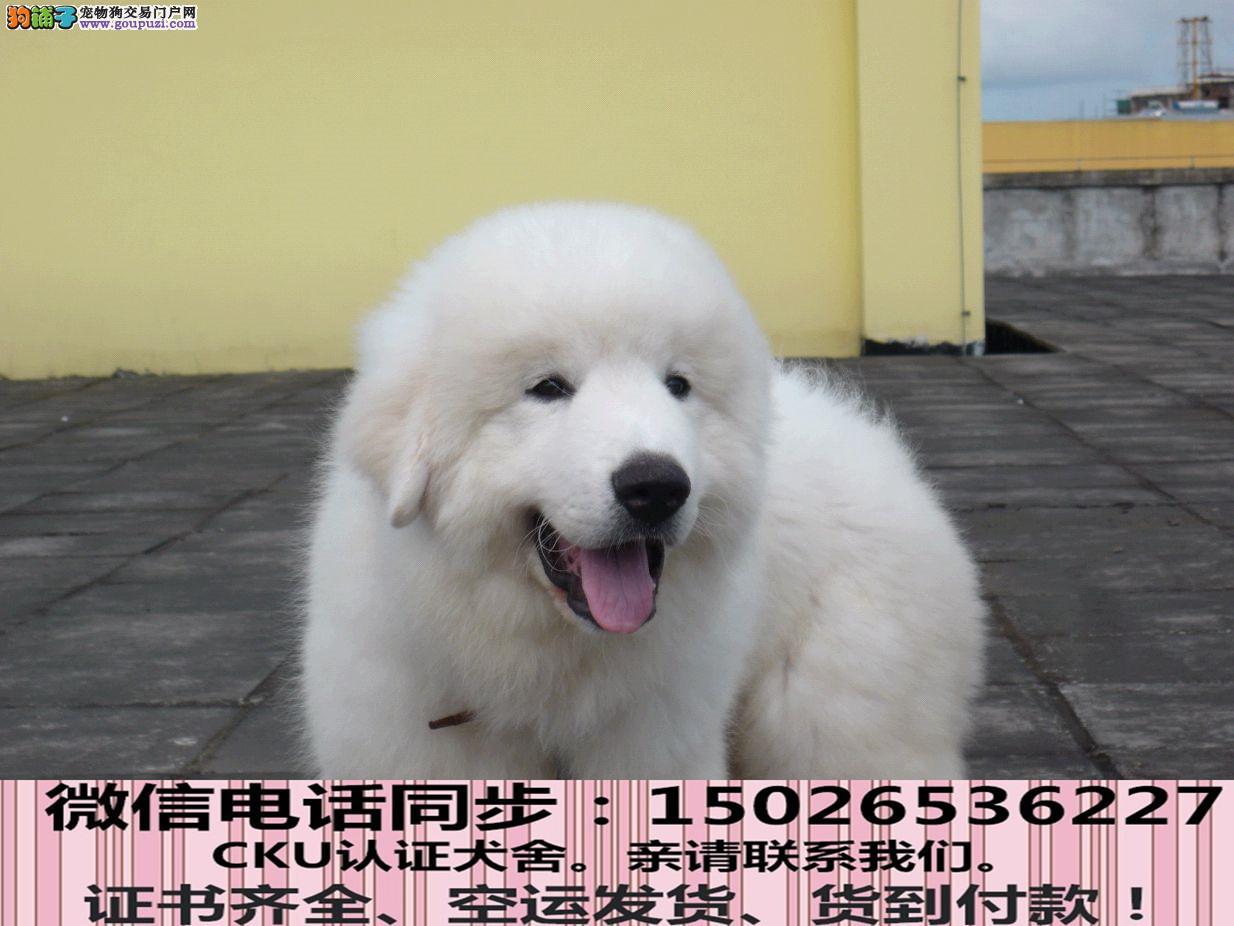 纯种大白熊 包健康好养.购买签购犬协议.疫苗齐全
