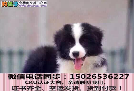 全国送货上门 边牧幼犬保健康保纯种签售后协议