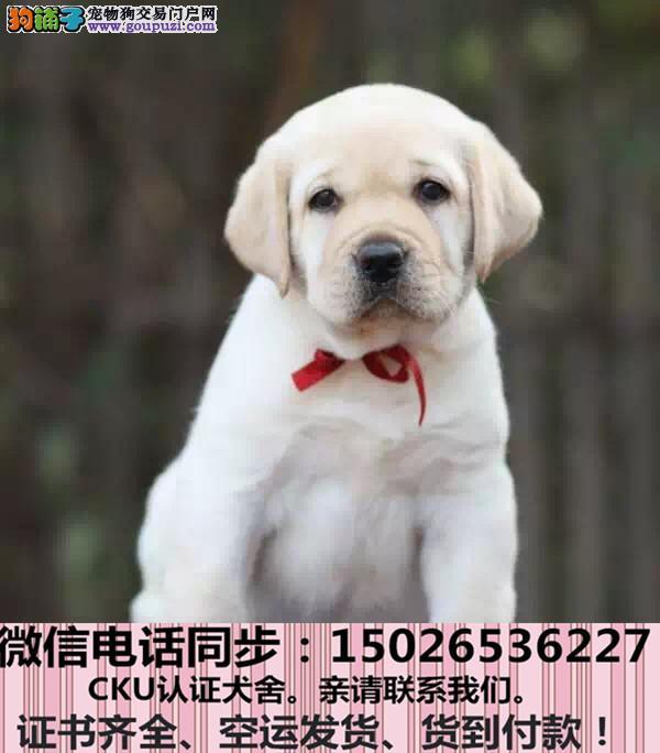 纯种拉布拉多犬 包健康好养.购买签购犬协议