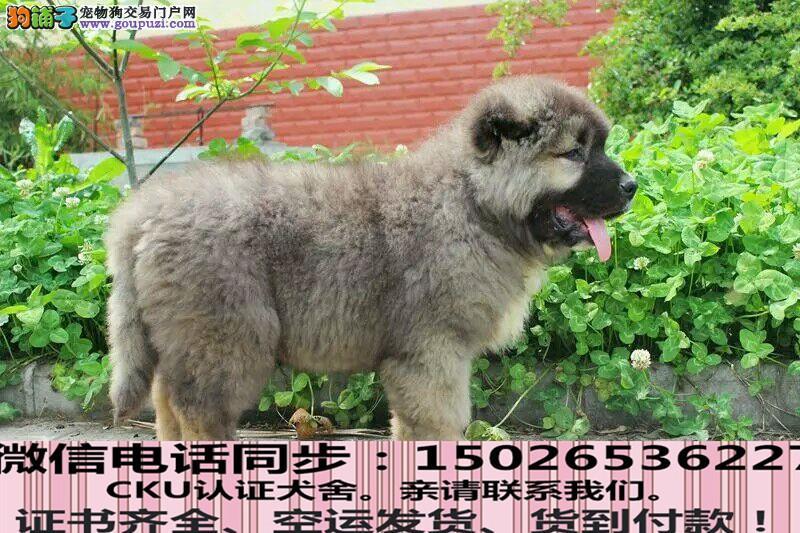 正规犬舍出售纯种高加索包养活签协议
