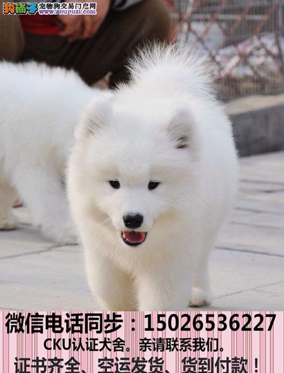 正规犬舍出售纯种萨摩耶包养活签协议