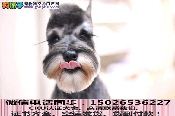 本地正规犬场出售纯种雪纳瑞包养活签协议3