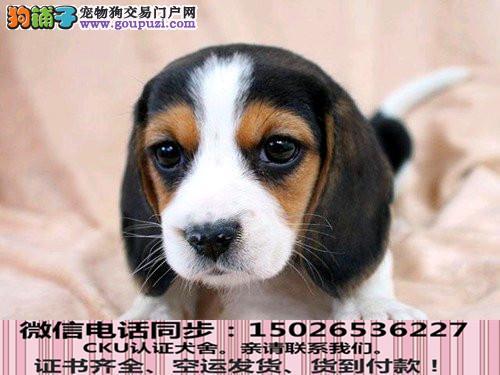 本地正规犬场出售纯种比格包养活签协议