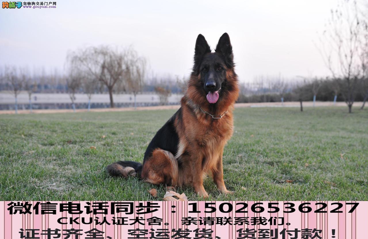 本地正规犬场出售纯种狼狗包养活签协议