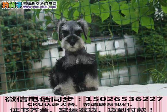 本地正规犬场出售纯种雪纳瑞包养活签协议4