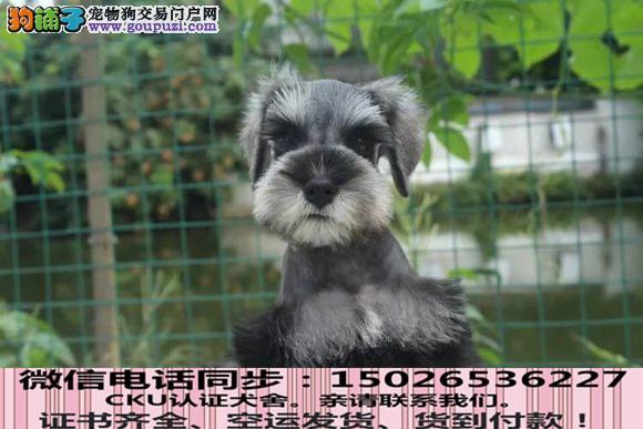 本地正规犬场出售纯种雪纳瑞包养活签协议2