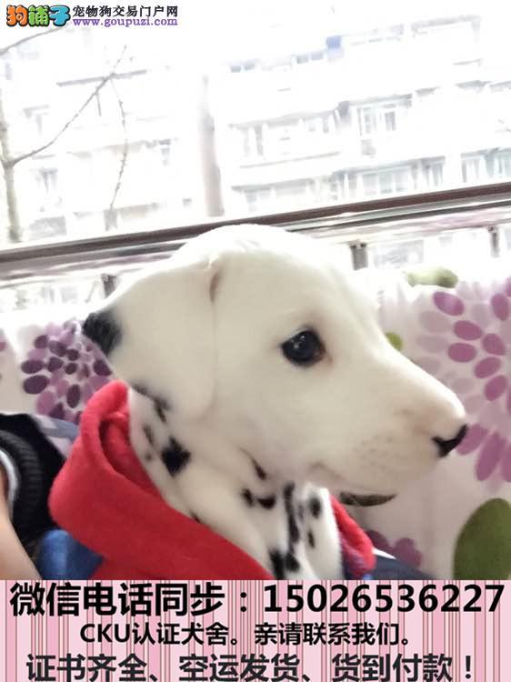 本地犬舍出售纯种 斑点狗 包养活签协议
