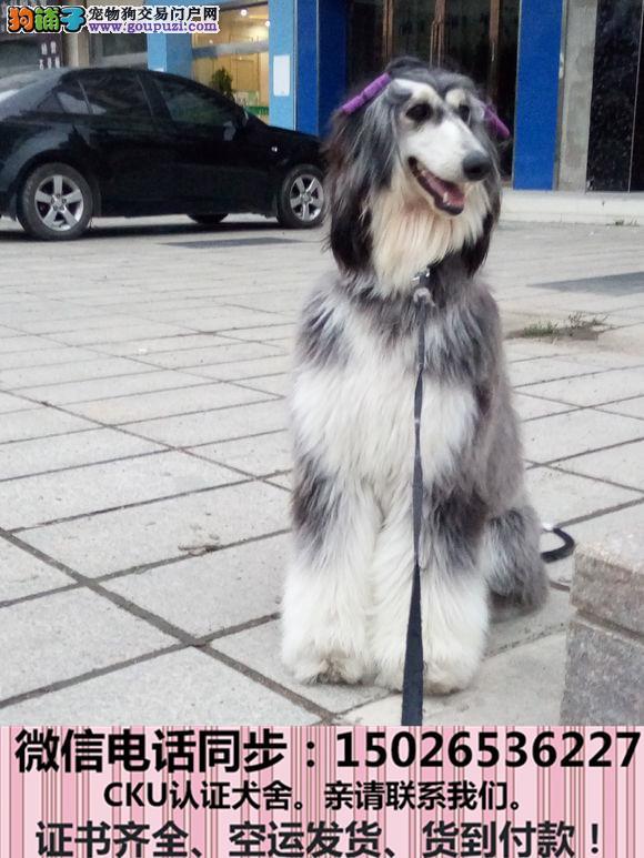 不卖病狗不卖串健康保终身签协议 阿富汗猎犬