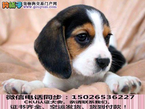 高品质茶杯犬 保纯种健康 基地直销 欢迎实地挑选