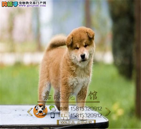 日系柴犬,赛级品质、实拍、专业繁殖,欢迎预约看狗