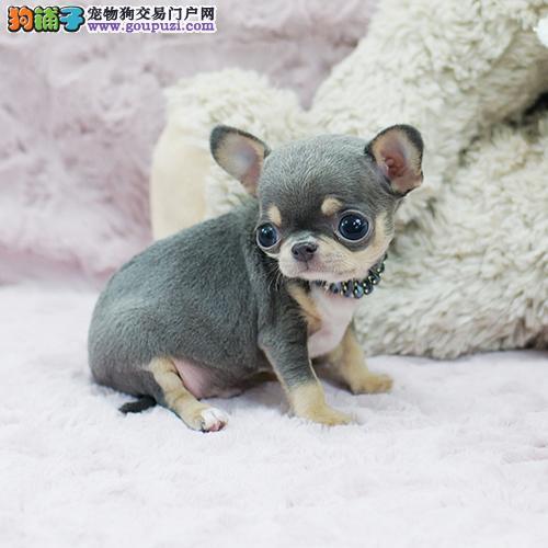 出售精品吉娃娃活体幼犬1