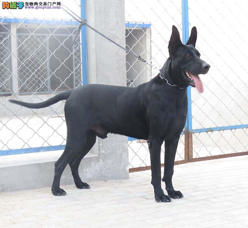 浙江黑狼犬价格哪里卖黑狼纯种黑狼多少钱一只3
